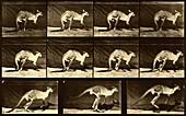 Kangaroo jumping, Muybridge motion study, 1880s