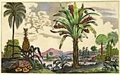 Pineapple plant and banana tree, 17th century
