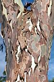 Peeling Eucalyptus camaldulensis bark