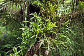 Epiphytic Microsorum diversifolium fern