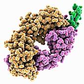 Rituximab antibody complex, molecular model
