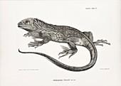 Galapagos land iguana, 19th century