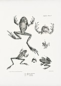 South American tree frogs, 19th century