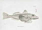 Galapagos gurnard, 19th century