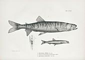 Aplochiton freshwater fish, 19th century