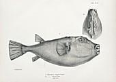 Narrow-headed pufferfish, 19th century