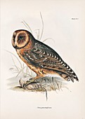 Galapagos barn owl, 19th century