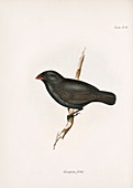 Medium ground finch, 19th century