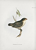 Large tree finch, 19th century