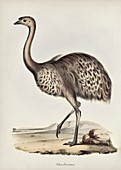 Darwin's rhea, 19th century