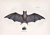 Leaf-nosed bat, 19th century