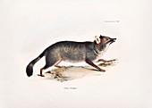 Darwin's fox, 19th century