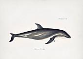 Dusky dolphin, 19th century