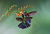 Fiery-throated hummingbirds feeding from flowers