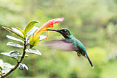 Green-crowned brilliant hummingbird feeding from a flower