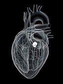 Human heart aortic valve, illustration