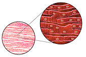 Heart muscle structure, illustration and micrograph