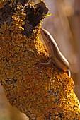 Female bridled mabuya