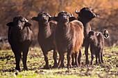 Herd of wild water buffaloes