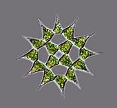 Pediastrum alga, light micrograph