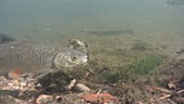 Chub fish in a river