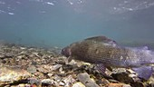 Grayling in a river