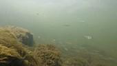 Gudgeon fish in a river