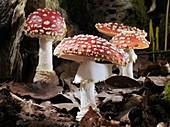 Fly agaric mushrooms, timelapse