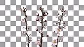 Apricot blossom, timelapse