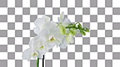 White orchid, timelapse