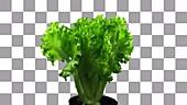 Lettuce growing, timelapse