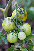 Green tomatoes on the plant