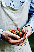 Handful of fresh strawberies, held by a farmer wearing an apron