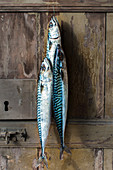Fresh mackerel hanging on a door after a fishing trip