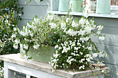 Kasten mit weißen Balkonblumen