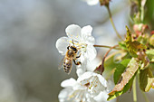 A honey bee on a cherry blossom