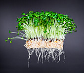 Fresh cress with roots in front of a gray background