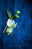 Christrose mit abgefallenen Blüten auf blauem Untergrund