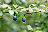 Sloe berries on a twig