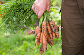A man carrying freshly picked carrots with soil