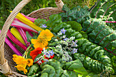 A basket of colourful chard, borage and nasturtium