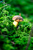 A chestnut mushroom in a forest