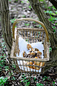 Freshly harvested morel mushrooms in a basket on a forest floor