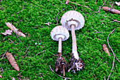 Two parasol mushrooms on a mossy forest floor