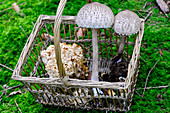 A basket of freshly harvested mushrooms on a forest floor