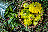 Freshly picked cucumbers and pattypans