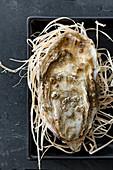 Frische Austern auf Stroh