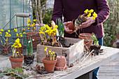Kasten bepflanzen mit Winterlingen und Schneeglöckchen