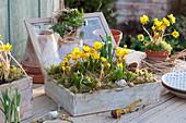 Mit Winterlingen und Blausternchen bepflanzter Kasten