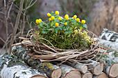Winterlinge im Moos-Nest